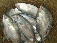 ইলিশ মাছ (কেজি)