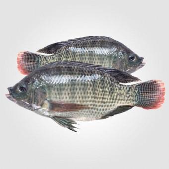 তেলাপিয়া মাছ (কেজি)