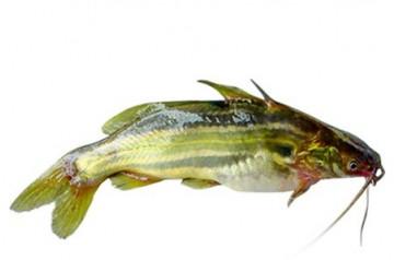 Tangra Fish (KG)