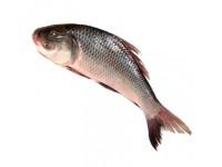 Katol Fish (Kg)