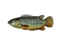 Koi Fish(KG)