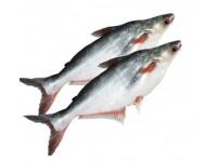 পাংগাস মাছ (কেজি)