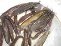 শিং মাছ (কেজি)